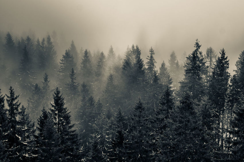 Landscape_Collection Postcard Tranquility Beauty In Nature Cold Temperature Day Fog Forest Growth Landscape Nature No People Outdoors Pine Tree Plant Poetry Scenics Sky Spruce Tree Tranquil Scene Tranquility Tree Wild Winter