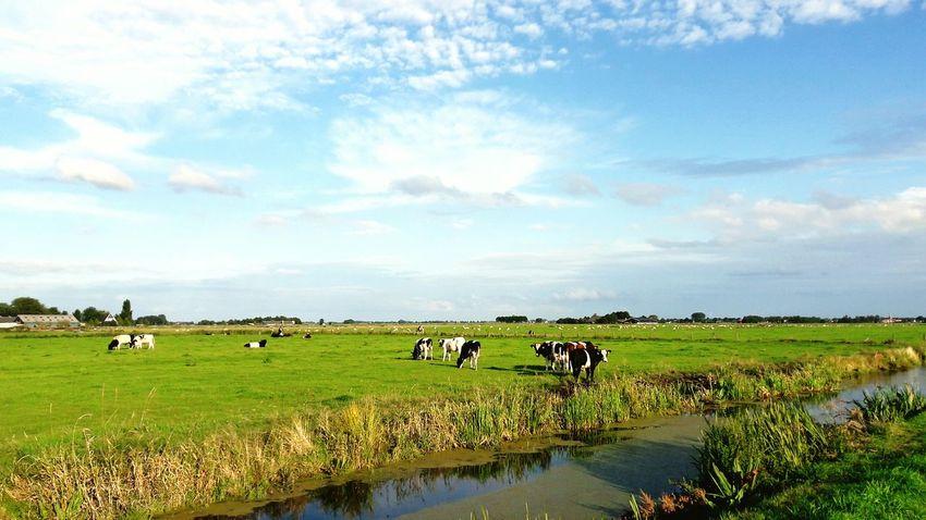 Agriculture Animal Nature Landscape Farmer Friesland