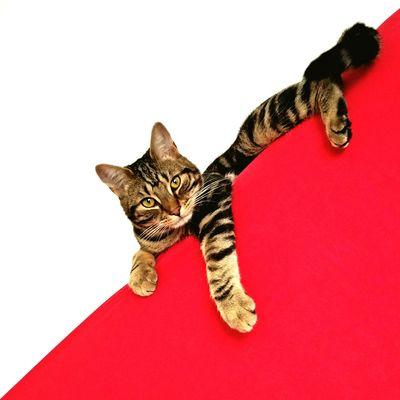 Polish patriotic cat Cats 🐱 Cats Lovers  Cats Love Me Cats Red And White Gucio Polish Flag Polishcat