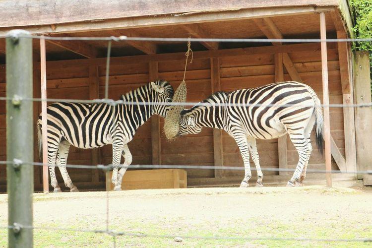 Calm Animal Themes Animals In The Wild Zebra Striped OutdoorsDay One Animal EyeEm Gallery Pet Portraits