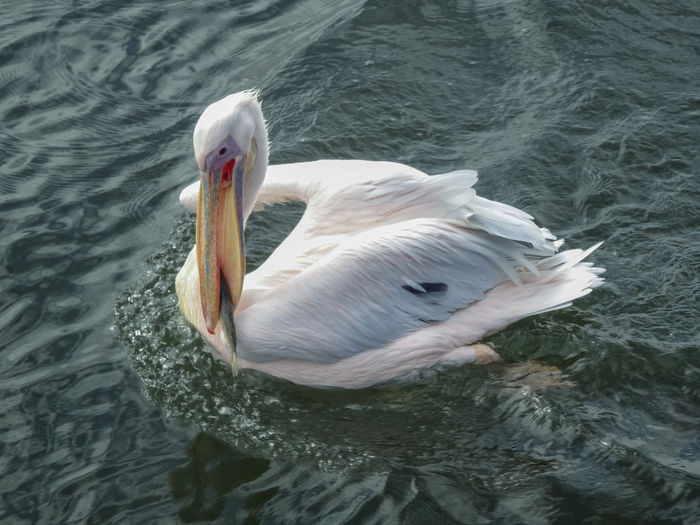 Close-Up Of Pelican Swimming In Lake