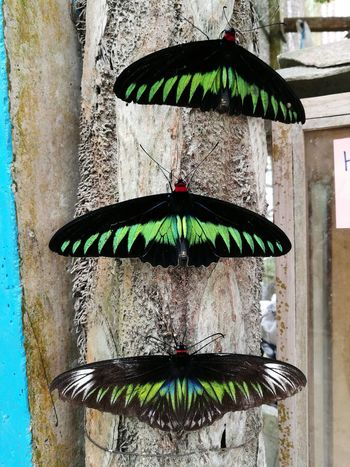 Day No People Outdoors Green Color Close-up Butterfly Butterflies Close Up 3 Three Nature Animal Animal Nature Wildlife Malaysia Cameron Highlands Green And Black Beauty In Nature Beauty Sommergefühle