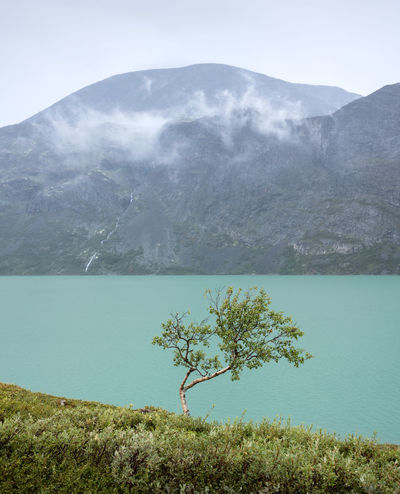 Single mountain birch against a mountain lake. Part og Besseggen in mist behind. Gjende, Jotunheimen, Norway. Mountain Scenics - Nature Beauty In Nature Water Plant Tranquil Scene Tranquility Nature Non-urban Scene Day Sky Lake No People Idyllic Mountain Range Environment Outdoors Hiking Gjende Jotunheimen Norway Mist