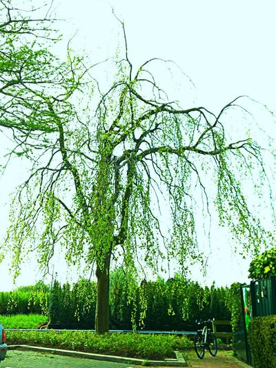 Tree Green Color Growth Park - Man Made Space Grass Nature Outdoors Day Beauty In Nature Sky Branch No People