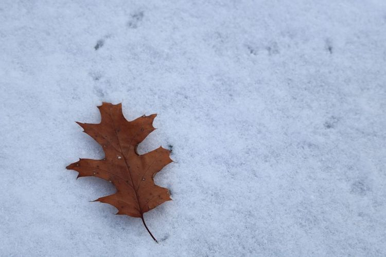 Leaf Autumn Winter Cold Temperature Maple Leaf Weather Maple High Angle View Change Dry Nature Outdoors Day Frozen Beauty In Nature Close-up No People Fragility Snow White Background
