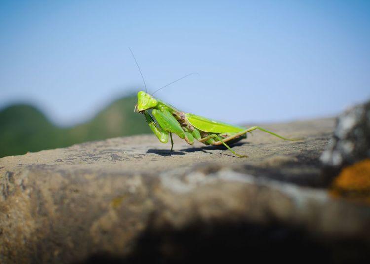 Grasshopper On Rock