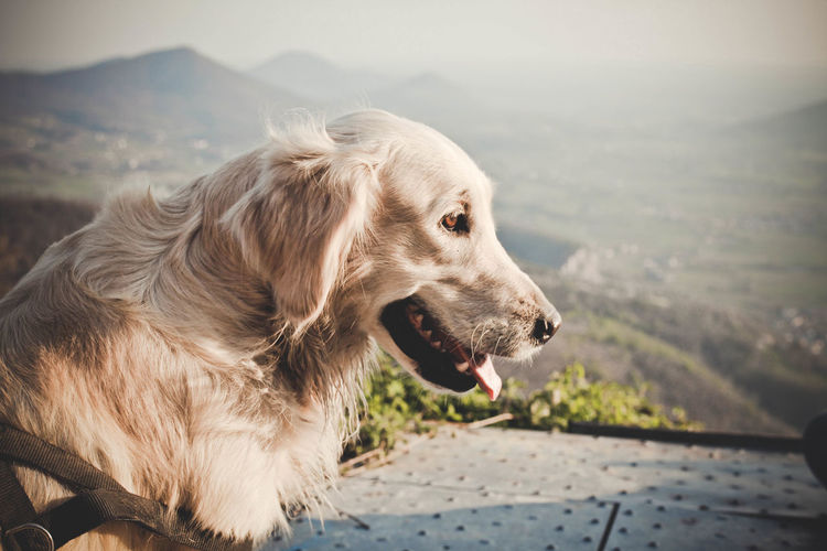 Animal Animal Head  Animal Themes Day Dog Domestic Animals Focus On Foreground Goldenretriever Loyalty Mammal No People One Animal Outdoors Pets Side View Zoology