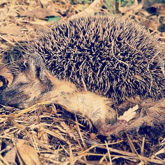خیلی راهت و عجیب خوابیده بود خارپشت مرده حیوان جوجه_تیغی مرگ تصادف Hedgehog Die Dead