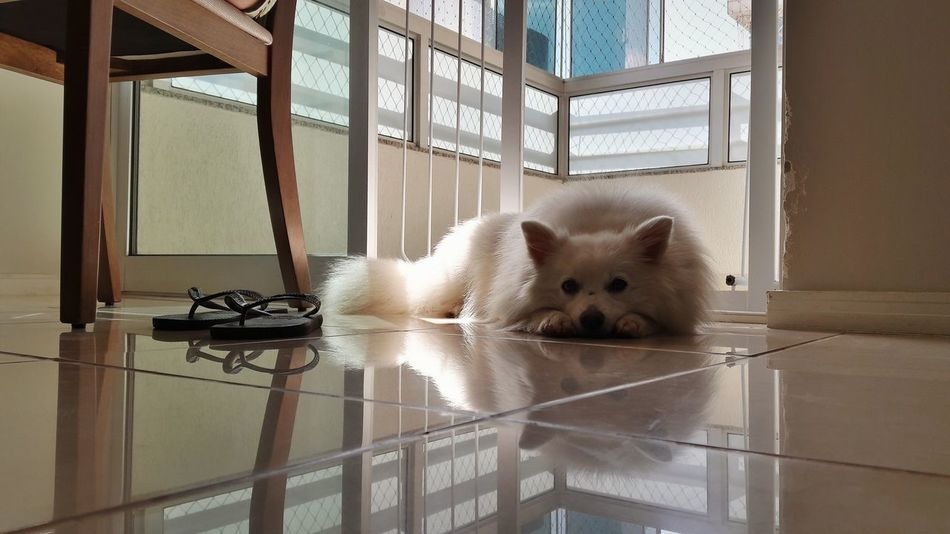 EyeEmNewHere EyeEm Selects Animal Indoors  Animal Themes No People Pets American Eskimo Japanese Spitz Spitz Dog Best Life Lazy Dog Lazy Afternoon Lazy Sunday Lazy Day Lazy Sleeping Home Dog Dog Sleeping  Dog Photography Dogs Of EyeEm Dogslife Home Flip Flops