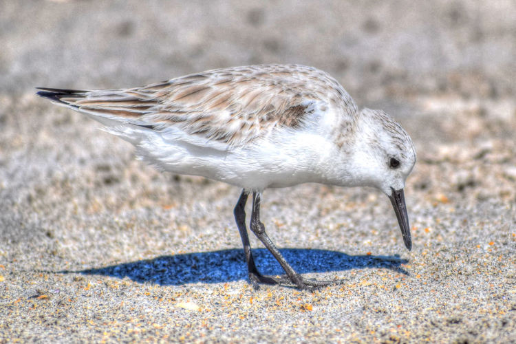 Beach Birds Calidris Alba Sanderling Sandpipers Searching For Food Animal Themes Animal Wildlife Animals In The Wild Beach Bird Bird Close-up Day Full Length Nature No People Ocean Beach Ocean Bird Ocean Birds One Animal Outdoors Sand Sanderlings Sandpiper Sandpiper Bird Sandpipers