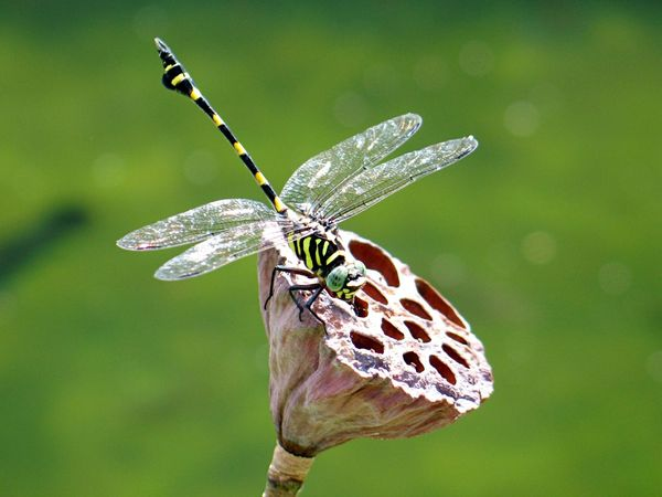 Lotus Dragonfly Insect Animal Themes Animals In The Wild One Animal Wildlife Animal Wildlife Focus On Foreground Day Close-up No People Outdoors Full Length Nature