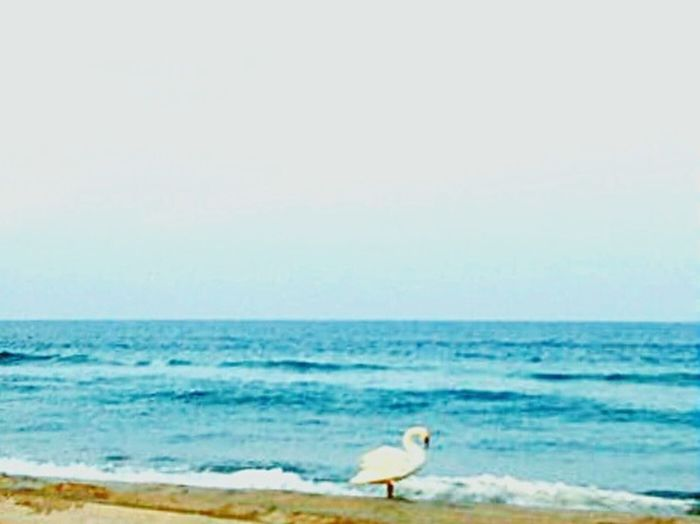 Swan in the sun
