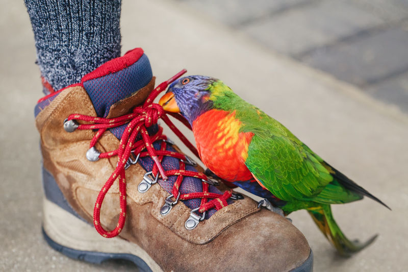 Lorikeet parrot sitting on human leg and pecking biting shoe laces. funny domestic animal pet