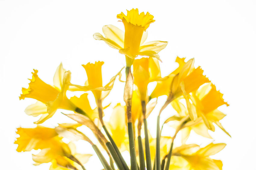 Yellow Backlit Beauty In Nature Blooming Blossom Botany Daffodils Flower Fragility Freshness Growth High Key Lent Lily Narzisse Nature Osterglocke Ostern Petal Softness Spring Spring Flowers Yellow Showcase March Colour Of Life