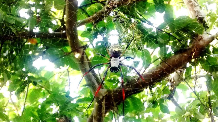 Plant Tree Sunlight Outdoors Animals In The Wild One Animal Green Color No People Day Spider Arachnid Leaf Nature Spider Web