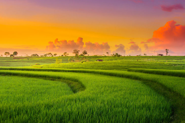 Beauty sunset at paddy fields in north bengkulu, asia