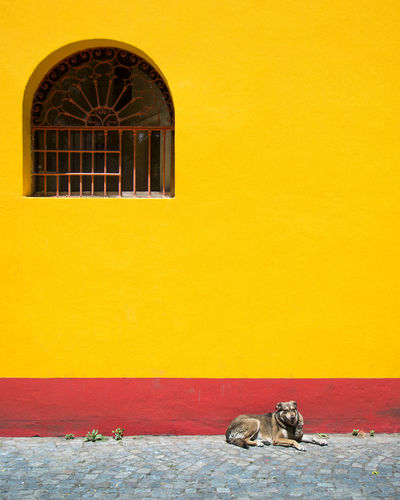yellow life Dog Dogs Of EyeEm Week On Eyeem Buenosaires Argentina Minimalism Minimalist Architecture Colorful Yellow One Animal Day Architecture No People Window Built Structure Building Exterior