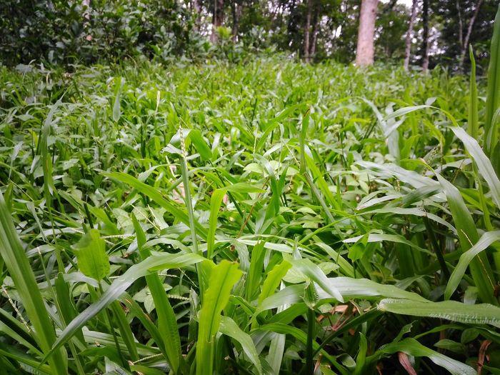 Green Grass EyeEm Best Shots EyeEm Nature Lover Grass Land Inside Green Grass Eyemphotography Indiapictures Kerala The Gods Own Country ;) Green Kerala