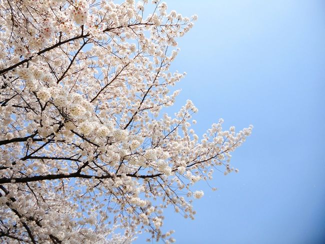 Blue Sky Cherry Blossoms No People Warm Colors Springtime Spring Flowers Library Skyblue Cherryblossomtree Flowers