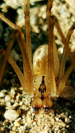 Animal Themes Animals In The Wild Close-up One Animal Nature Animal Wildlife No People Outdoors Day Insect Spider Eyes Macro Cellar Spider