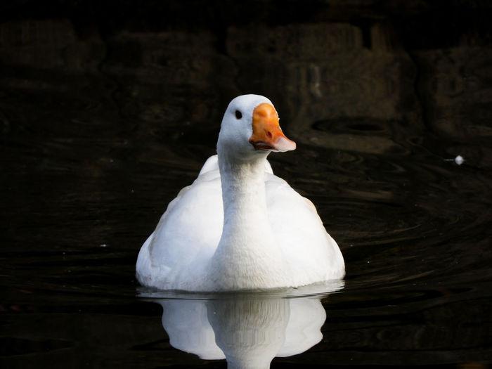 white goose Duck Goose White Goose Geese Reflection Water Reflections White Waterbird Bird Black Background Winter Feather  Closing Close-up Animal Eye Beak Eye Animal Neck