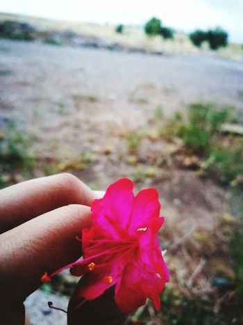 Flower Red One Person Petal Beauty In Nature Focus On Foreground Pink Color Holding Day Poppy Close-up Flower Head Outdoors Human Hand