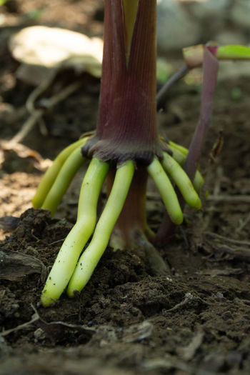 The root of the stem of the corn tree, air roots. Root Roots Corn Air Air Roots Close-up Green Red Outdoors Field Nature Land Selective Focus Plant Green Color Gardening Vegetable