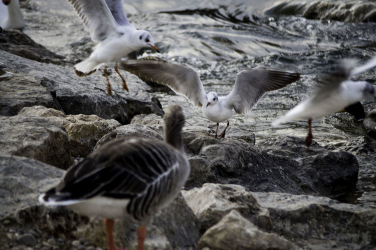 Close-up of seagulls landing on rock