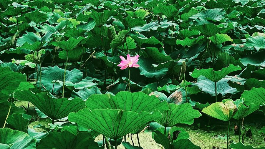 High angle view of lotus water lily on leaves