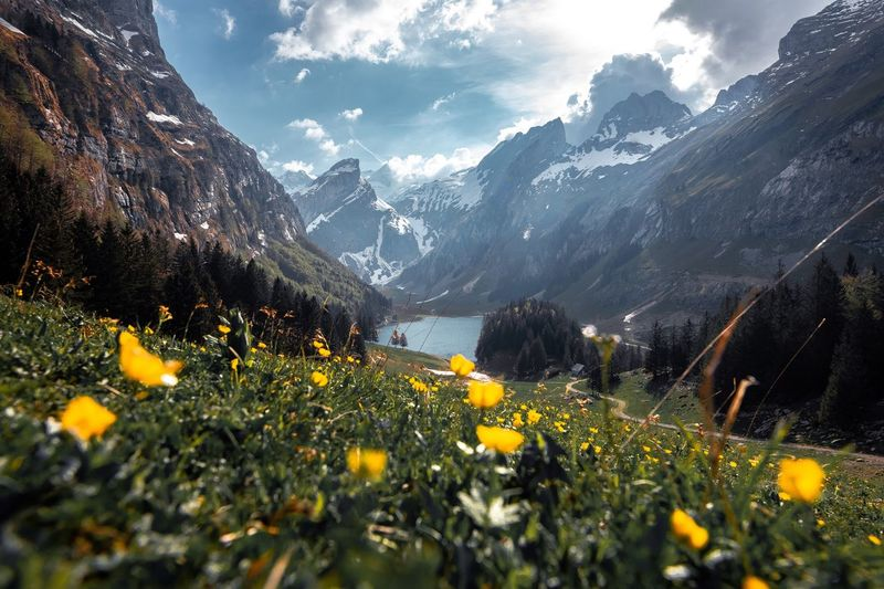 Yellow flowering plants on field by mountains against sky
