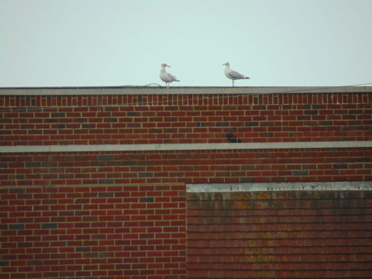 Birds Brick Houses Daylight Outdoors Peacehaven Stuff. Rainy Day Seagulls Zoom Phot First Eyeem Photo