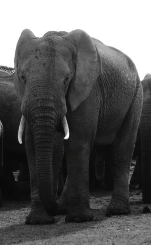 South Africa African Elephant Animals In The Wild