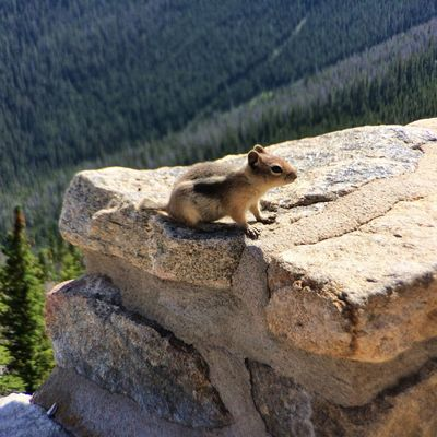 Rocky Mountain National Park Chipmonk