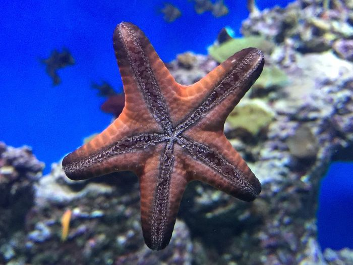 Starfish. Animal Themes Starfish  Sea Life Animals In The Wild Underwater Focus On Foreground Fish No People Water Sea Nature Wildlife Blue UnderSea Swimming