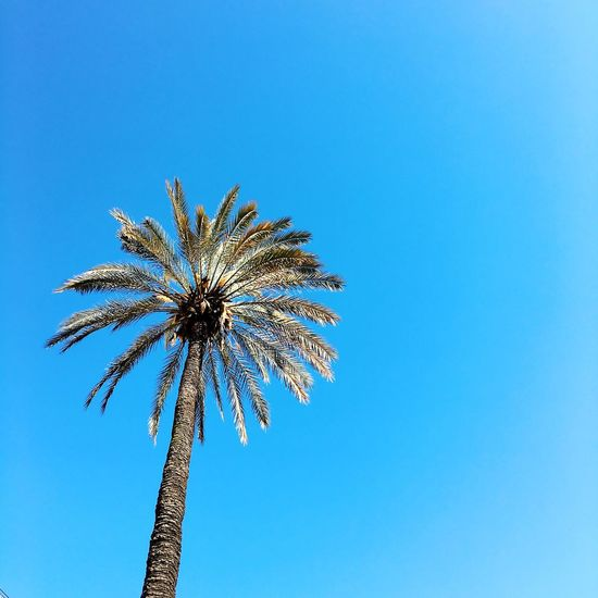 Beauty In Nature Blue Clear Sky Copy Space Day Growth Low Angle View Nature No People Outdoors Palm Tree Sky Tree