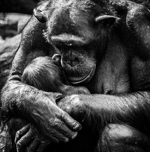Chimpanzee hugging
