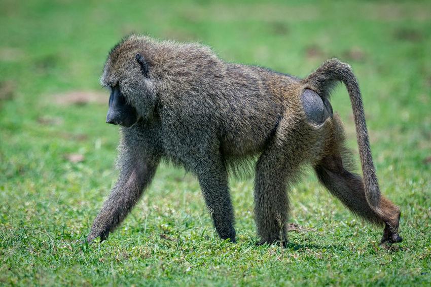 Nature Tanzania Travel Africa Animal Animals Baboon Monkey Olive Baboon Safari Wildlife