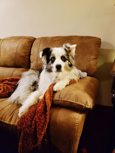 Pets Dog Sofa Close-up
