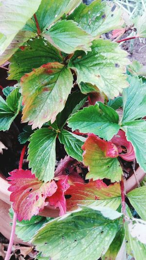Multi Coloured Strawberry Leaves . This would make a Perfect Background with the Bright Red and Green . Featuring Leaf Nature Growth Beauty In Nature Outdoors No People Day Green Color Plant Fragility Close-up Freshness Homegrown Healthy Lifestyle Organic Plant Autumn