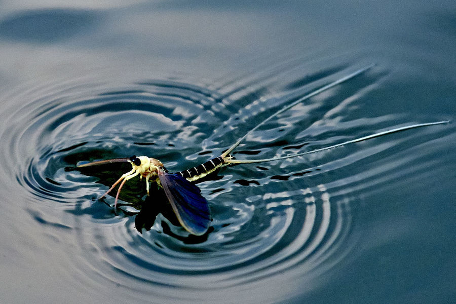 Beautiful Mayfly Nature River Summer Summertime Tisza River Water Wave First Eyeem Photo