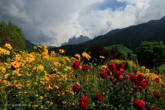 Flowers in Val di Funes! Flower Growth Freshness Fragility Beauty In Nature Field Sky Tranquil Scene Landscape Nature Plant Scenics Tranquility Mountain Beautiful Italy Cloud - Sky Blooming In Bloom Cloud Petal Poppy