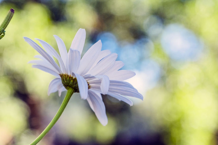 Flowering Plant Flower Vulnerability  Fragility Freshness Beauty In Nature Petal Plant Growth Close-up Inflorescence Flower Head Focus On Foreground White Color Day No People Nature Plant Stem Outdoors Sepal