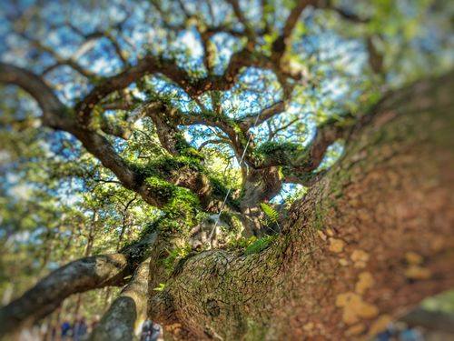 Angel Tree Tree Nature Growth Low Angle View Beauty In Nature Branch Green Color No People Close-up Day Tranquility Outdoors Sky Giant Tree Tranquil Scene South Carolina Beautiful Scenics Tranquility Beauty In Nature Angel Oak Old Historic