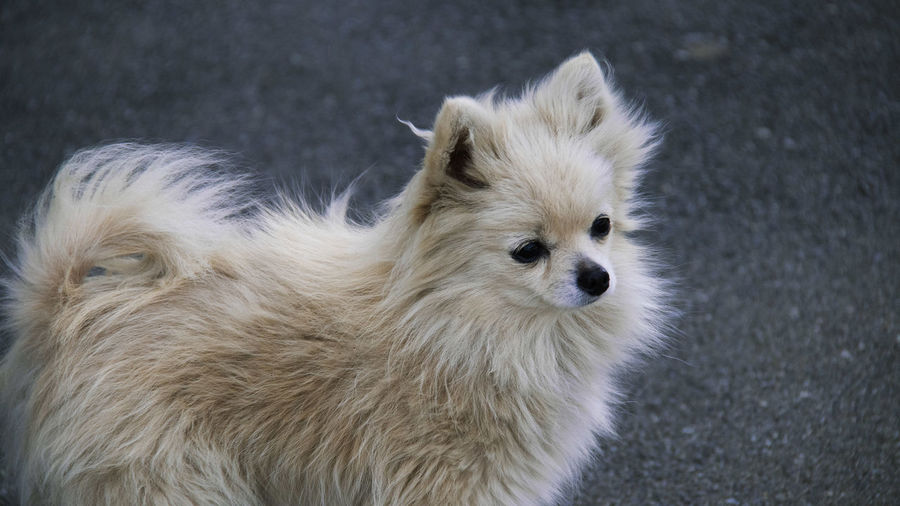 Animal Mammal One Animal Animal Themes Dog Canine Domestic Hair Pets Domestic Animals No People Animal Body Part Close-up Portrait Vertebrate Animal Hair Animal Head  Focus On Foreground High Angle View White Color Pomeranian Small