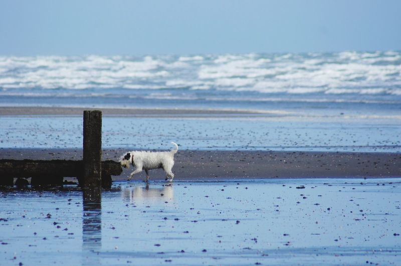 Little white dog having a stroll around the beach. Waves Horizon Over Water Nature_collection EyeEm Best Shots Side View Selective Focus Close-up Motion Capture Outdoors Beauty In Nature Breakwater Reflection Wet Sand Canine One Animal Water Domestic Sea Pets Mammal Animal Themes Domestic Animals Dog Beach Land Nature Vertebrate Day No People Motion