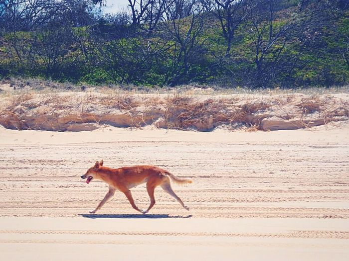Wander dingo Dingo Wandering Beach Photography Fraser Island Fresh On Eyeem  Beach View Thebeautyofnature Australia Travelgram Mycapture The Essence Of Summer The Essence Of Summer- 2016 EyeEm Awards Beachphotography Islandsofadventure Travel Photography Queensland Australia Amazing Nature Sand Island Mein Automoment Feel The Journey Original Experiences