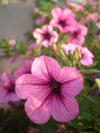Flower Fragility Flower Head Petal Pink Color Freshness Beauty In Nature Growth Nature Day Blooming Plant Focus On Foreground Close-up Outdoors No People Petunia Periwinkle I Want To Know Your Secret, C I Always Thinking About U, G Thank You,❤️ 감사합니다