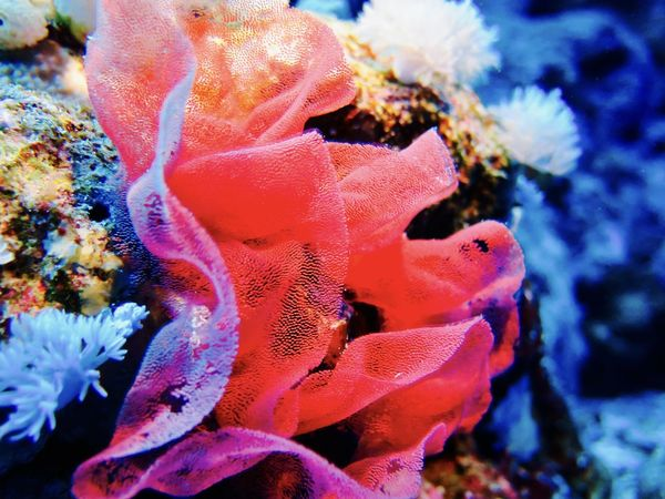 This is a really beautiful treasure of the sea: the spanish dancer's laying Wonderful color and gracious movement 😃 Animals In The Wild Beauty In Nature Ecosystem  Laying Nature Pink Color Sea Sea Life Spanish Dancer My Year My View