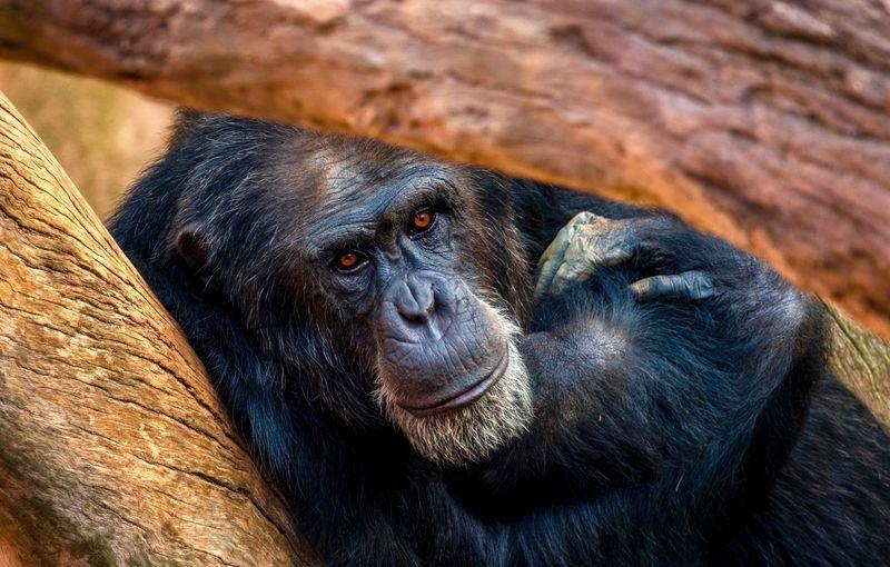 Look EyeEm Best Shots Chimpanzee Look Mammal Primate Animal Themes Animal Monkey Ape Animals In The Wild Zoo Animal Wildlife A New Beginning