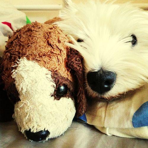 My lovely westy Basia :) My Dog West Highland Terrier West Highland White Terrier Enjoying Life